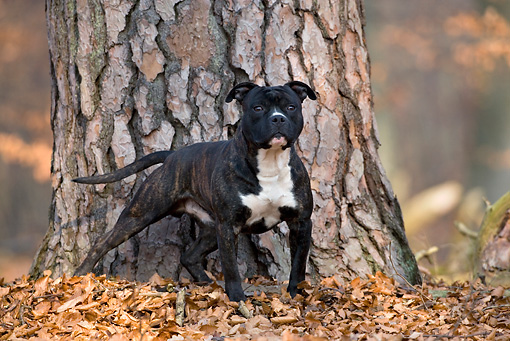DOG 02 KH0013 01 © Kimball Stock American Staffordshire Terrier Standing In Front Of Tree In Leaves