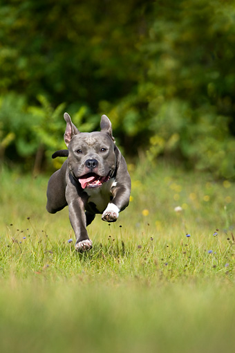 DOG 02 KH0016 01 © Kimball Stock Gray American Staffordshire Terrier Running In Field