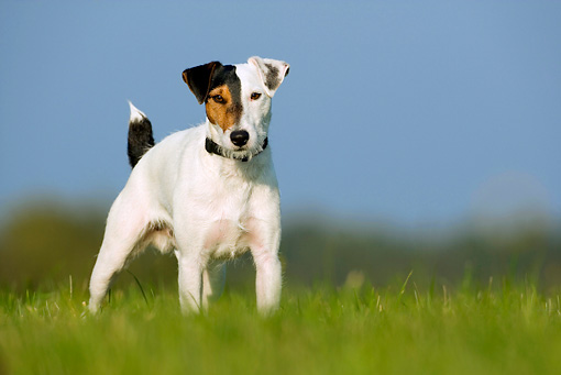 DOG 02 KH0023 01 © Kimball Stock Parson Russell Terrier Standing In Grass