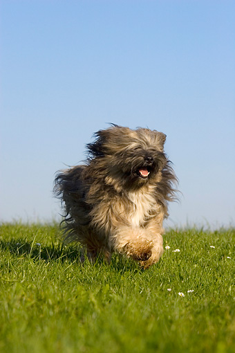 DOG 02 KH0031 01 © Kimball Stock Tibetan Terrier Running In Field
