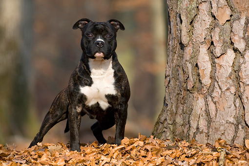 DOG 02 KH0033 01 © Kimball Stock American Staffordshire Terrier Standing In Leaves By Tree In Woods