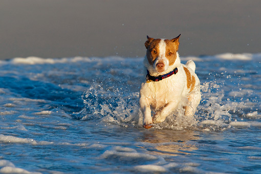 DOG 02 KH0036 01 © Kimball Stock Jack Russell Terrier Running In Surf On Beach