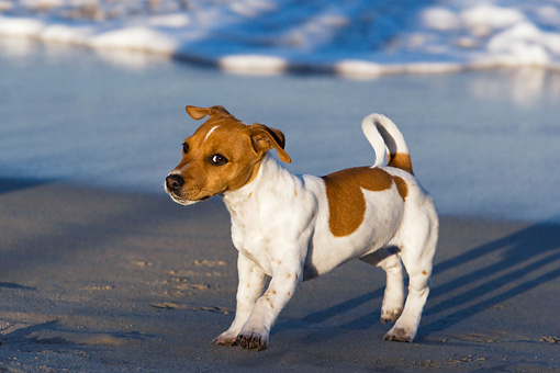 DOG 02 KH0037 01 © Kimball Stock Jack Russell Terrier Standing On Beach