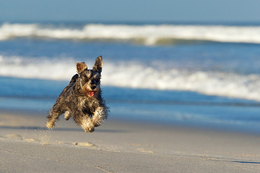 DOG 02 KH0038 01 © Kimball Stock Miniature Schnauzer Running On Beach