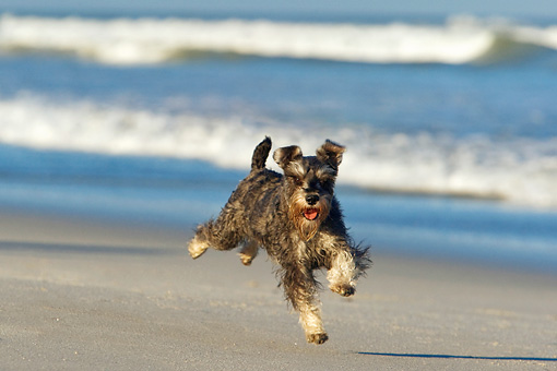 DOG 02 KH0039 01 © Kimball Stock Miniature Schnauzer Running On Beach