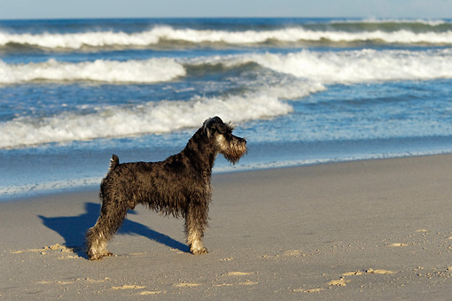 DOG 02 KH0041 01 © Kimball Stock Miniature Schnauzer Standing On Beach Profile