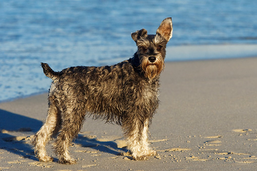DOG 02 KH0042 01 © Kimball Stock Miniature Schnauzer Standing On Beach