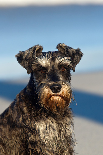 DOG 02 KH0043 01 © Kimball Stock Miniature Schnauzer Sitting On Beach Shoulder Shot