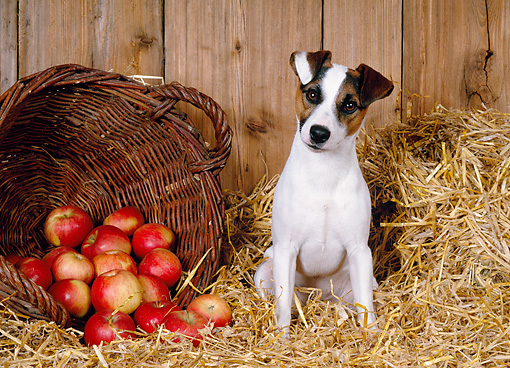 DOG 02 KH0044 01 © Kimball Stock Jack Russel Terrier Sitting In Straw By Basket Of Apples