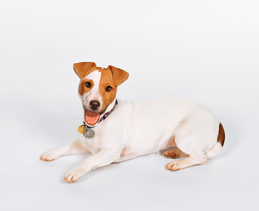DOG 02 KS0133 01 © Kimball Stock Jack Russell Terrier Laying On White Seamless