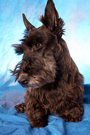 DOG 02 MQ0001 01 © Kimball Stock Portrait Of Scottish Terrier