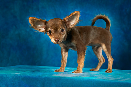 DOG 02 MQ0006 01 © Kimball Stock Portrait Of Chihuahua Standing Blue Background