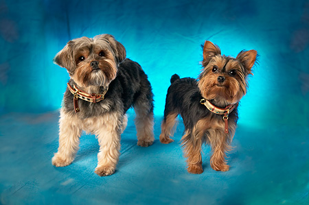 DOG 02 MQ0020 01 © Kimball Stock Two Yorkshire Terrier Dogs Standing Blue Background
