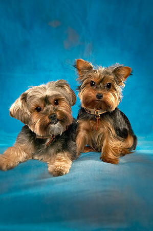DOG 02 MQ0021 01 © Kimball Stock Two Yorkshire Terrier Dogs Laying Together Blue Background