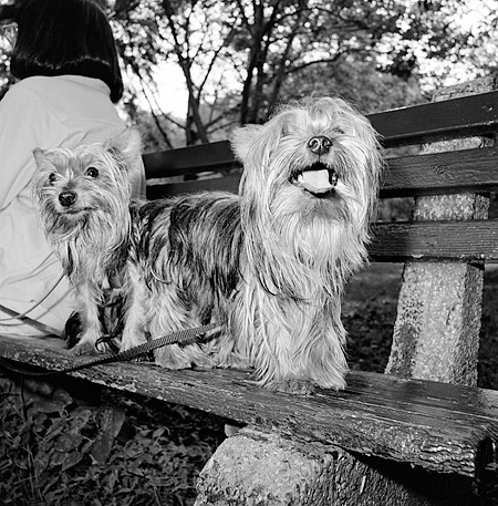 DOG 02 MQ0025 01 © Kimball Stock Two Yorkshire Terrier On Park Bench Manhattan New York