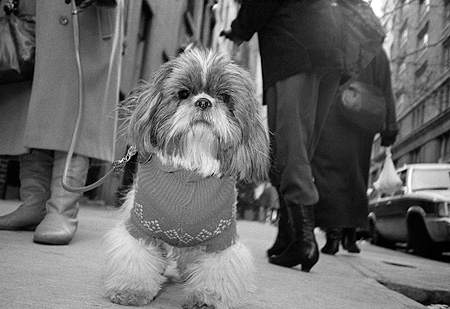 DOG 02 MQ0027 01 © Kimball Stock Tibetan Terrier On Leash Wearing Sweater Manhattan New York