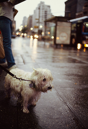 DOG 02 MQ0029 01 © Kimball Stock West Highland White Terrier On Leash On Wet Sidewalk Manhattan New York