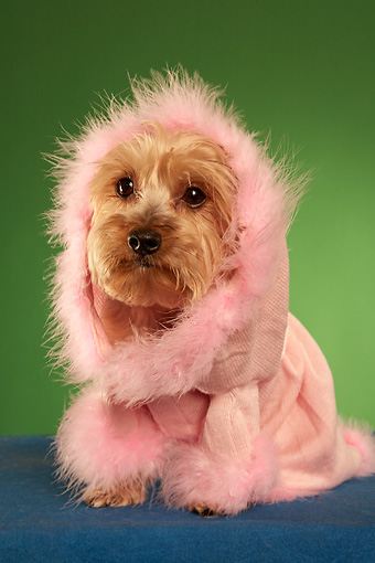 DOG 02 MQ0037 01 © Kimball Stock Humorous Yorkshire Terrier Wearing Pink Hooded Sweater On Green Background