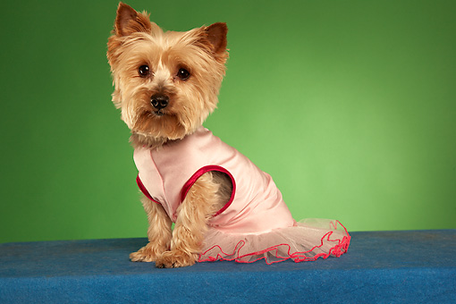 DOG 02 MQ0038 01 © Kimball Stock Humorous Yorkshire Terrier Wearing Pink Tutu On Green Background