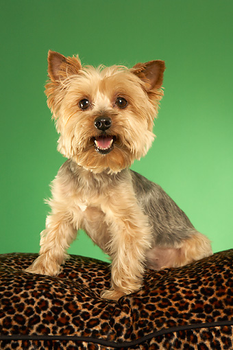 DOG 02 MQ0039 01 © Kimball Stock Humorous Yorkshire Terrier Sitting On Leopard-Print Couch On Green Background