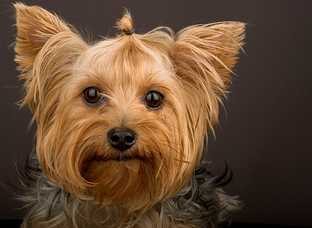 DOG 02 MR0012 01 © Kimball Stock Head Shot Of Yorkshire Terrier