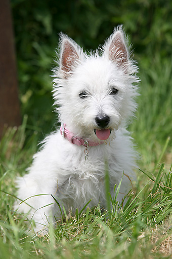 DOG 02 NR0002 01 © Kimball Stock West Highland White Terrier