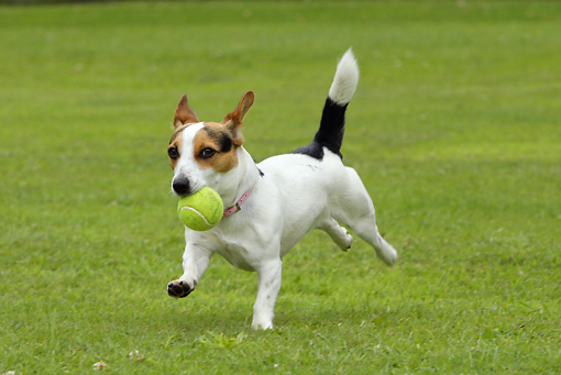 DOG 02 NR0023 01 © Kimball Stock Jack Russell Terrier Running In Field Carrying Tennis Ball