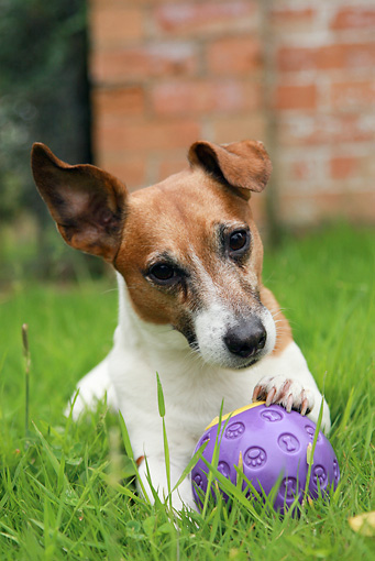 DOG 02 NR0024 01 © Kimball Stock Jack Russell Terrier Laying In Grass With Purple Ball In Front Of Brick Building