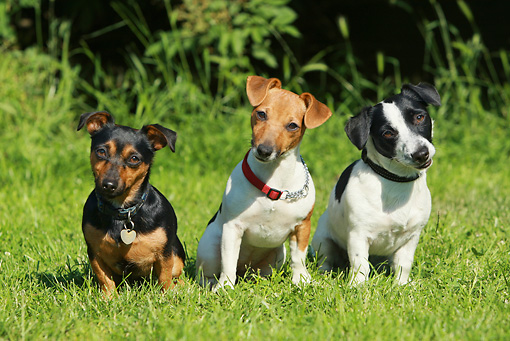 DOG 02 NR0025 01 © Kimball Stock Jack Russell Terriers Sitting In Grass Tilting Heads