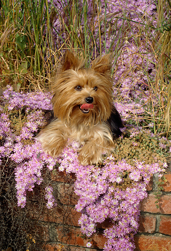 DOG 02 RC0002 01 © Kimball Stock Portrait Of Yorkshire Terrier Sitting In Pink Flowers On Brick Wall