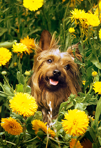 DOG 02 RC0003 01 © Kimball Stock Portrait Head Shot Of Yorkshire Terrier Sitting Among Yellow Flowers