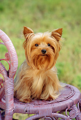DOG 02 RC0004 01 © Kimball Stock Portrait Of Yorkshire Terrier Sitting On Lavender Wicker Chair Grass Background