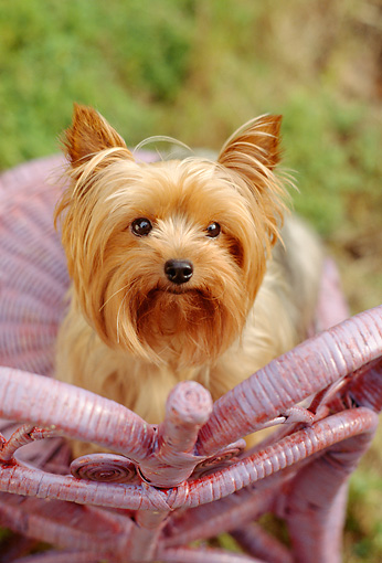 DOG 02 RC0005 01 © Kimball Stock Portrait Of Yorkshire Terrier Sitting On Lavender Wicker Chair Grass Background