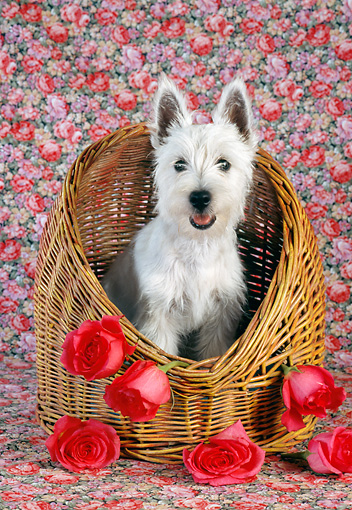 DOG 02 RC0007 01 © Kimball Stock West Highland White Terrier Puppy Sitting In Basket With Roses Studio