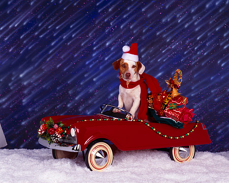 DOG 02 RK0009 04 © Kimball Stock Jack Russell Terrier Sitting In Red Car With Presents On Snow