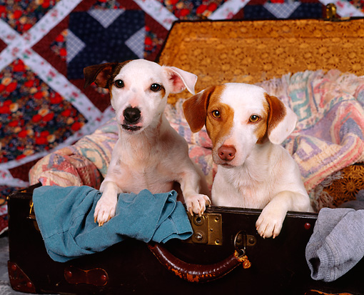 DOG 02 RK0016 02 © Kimball Stock Jack Russell Terriers Sitting In Suitcase Full Of Clothes