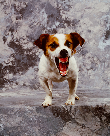 DOG 02 RK0019 02 © Kimball Stock Jack Russell Terrier Growling