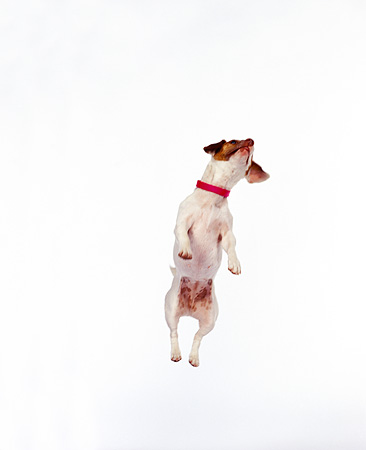 DOG 02 RK0022 01 © Kimball Stock Jack Russell Terrier