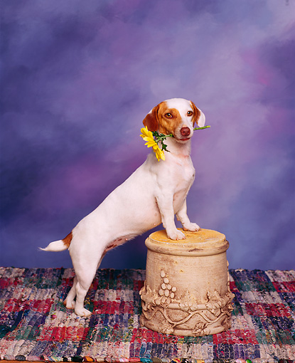 DOG 02 RK0026 03 © Kimball Stock Jack Russell Terrier With Flower In Mouth Studio