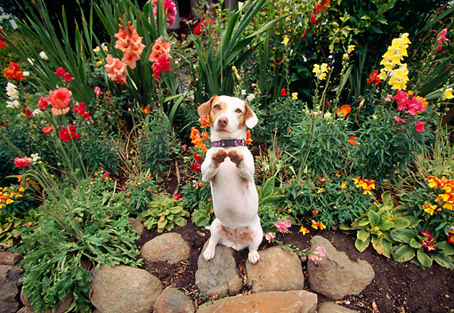 DOG 02 RK0044 04 © Kimball Stock Jack Russell Terrier Standing On Hind Legs By Rocks And Flowers