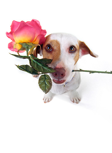 DOG 02 RK0050 08 © Kimball Stock Wide Angle Of Jack Russell Terrier With Rose In Mouth White Seamless Background