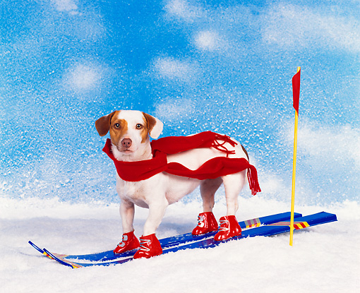 DOG 02 RK0069 01 © Kimball Stock Jack Russell Terrier Dressed As Olympic Skier