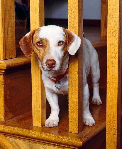 DOG 02 RK0079 04 © Kimball Stock Jack Russell Terrier Poking Head Out By Stairs