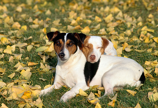 DOG 02 RK0082 01 © Kimball Stock Two Jack Russell Terriers Laying On Grass By Autumn Leaves