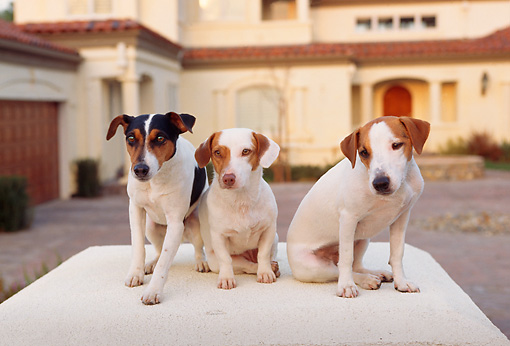 DOG 02 RK0085 02 © Kimball Stock Three Jack Russell Terriers  Sitting In Front Of House