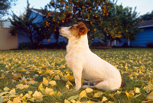 DOG 02 RK0087 02 © Kimball Stock Jack Russell Terrier Sitting On Grass With Yellow Leaves