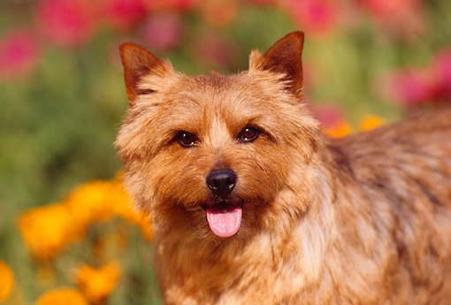 DOG 02 RK0111 09 © Kimball Stock Head Shot Of Norwich Terrier By Flower Garden