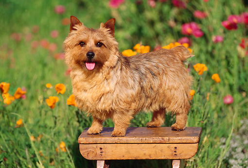 DOG 02 RK0112 13 © Kimball Stock Norwich Terrier Standing On Bench By Flower Garden