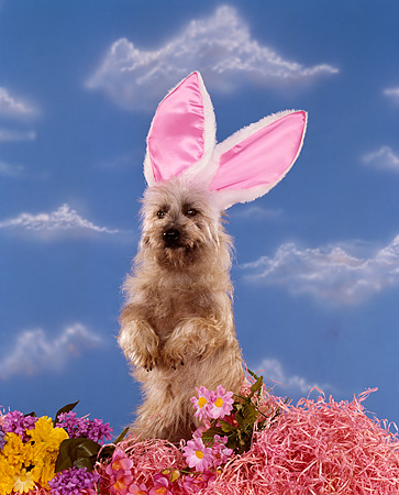 DOG 02 RK0136 01 © Kimball Stock Cairn Terrier Sitting In Flowers Wearing Rabbit Ears Blue Clouds Background