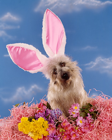 DOG 02 RK0136 05 © Kimball Stock Cairn Terrier Sitting In Flowers Wearing Rabbit Ears Blue Clouds Background
